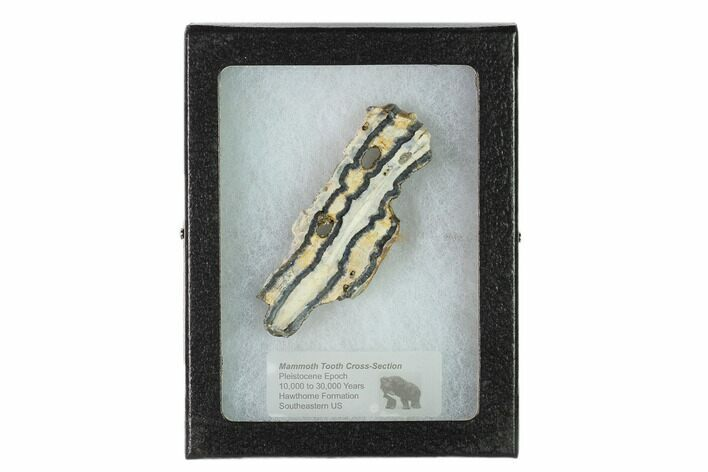 "2.6"" Mammoth Molar Slice With Case - South Carolina"