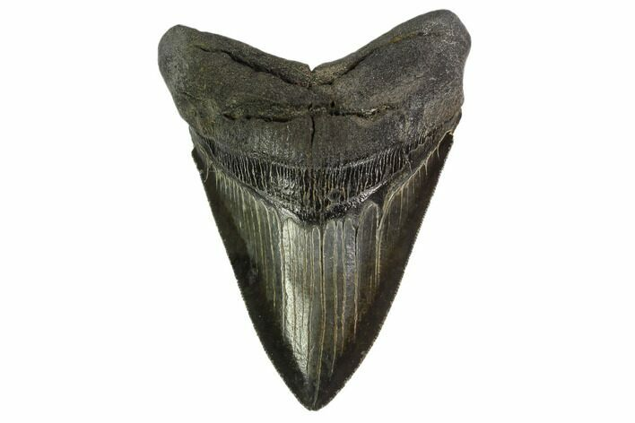 "Serrated, 4.4"" Fossil Megalodon Tooth - Georgia"