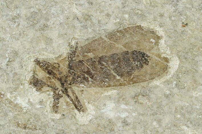 ".59"" Fossil March Fly (Plecia) - Green River Formation"