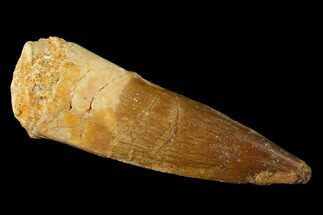 "Buy 1.85"" Spinosaurus Tooth - Real Dinosaur Tooth - #136222"