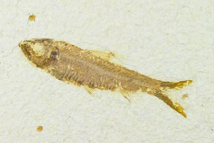 "3.6"" Fossil Fish (Knightia) - Wyoming"