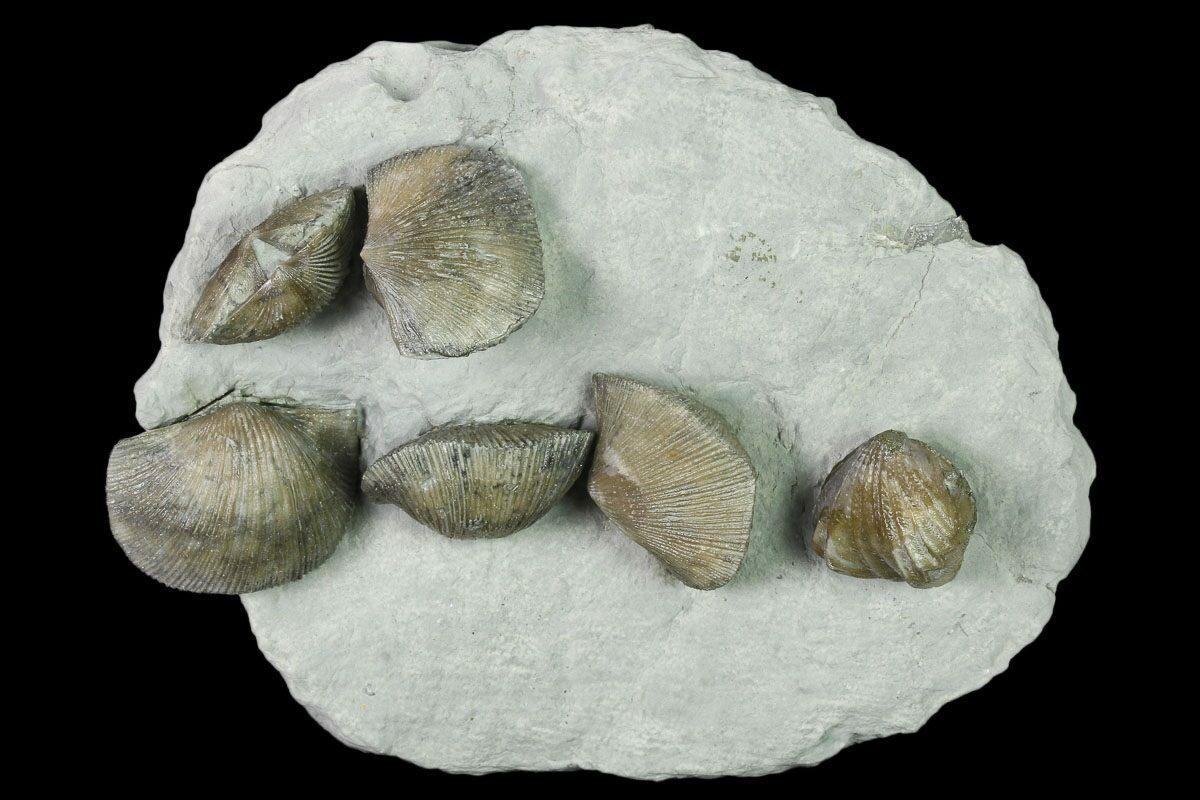 4.3 Multiple Fossil Brachiopod Plate (Two Species
