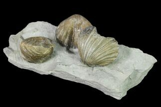 "Buy 2.7"" Multiple Fossil Brachiopod (Lepidocyclus) Plate - Indiana - #136510"