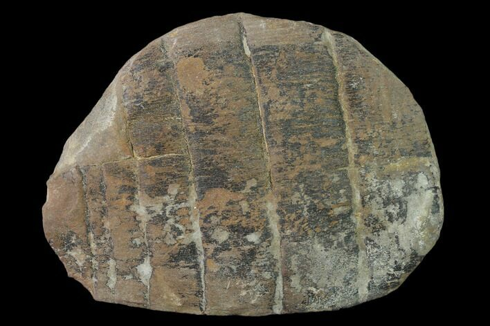 "5.1"" Fossil Horsetail (Calamites) in Ironstone - Illinois"