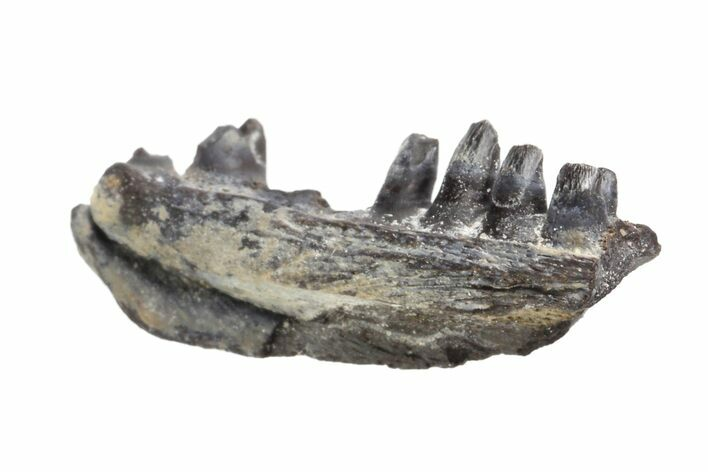".62"" Permian Reptile (Captorhinus) Jaw Section - Oklahoma"