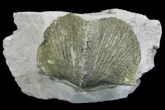 "Buy 2.2"" Pyrite Replaced Brachiopod (Paraspirifer) Fossil on Shale - Ohio - #136654"