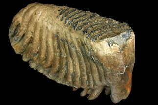 Palaeoloxodon sp. - Fossils For Sale - #137178