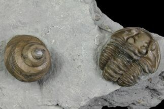 Flexicalymene retorsa & Cyclonema bilix - Fossils For Sale - #136965