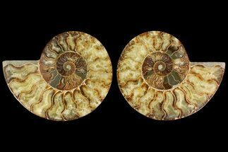 Cleoniceras - Fossils For Sale - #135282