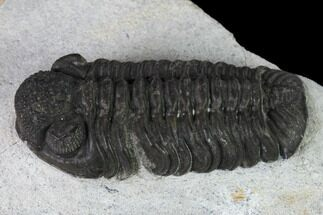 "Buy 1.55"" Adrisiops Weugi Trilobite - Recently Described Phacopid - #137470"