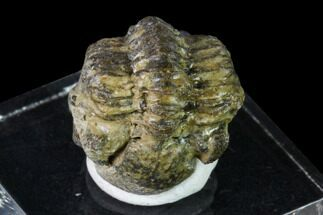 "Bargain, 1.3"" Geesops Trilobite - Vireux-Molhain, France For Sale, #137474"
