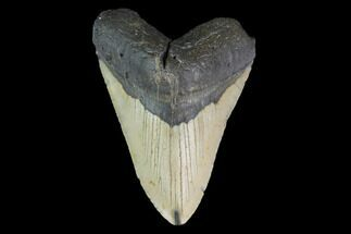 "Bargain, 4.93"" Fossil Megalodon Tooth - North Carolina For Sale, #124913"