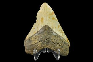 Carcharocles megalodon - Fossils For Sale - #124914