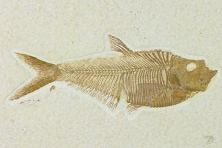 "5"" Fossil Fish (Diplomystus) - Green River Formation For Sale, #137963"