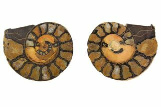"1.6"" Iron Replaced Ammonite Fossil Pair - Morocco For Sale, #138038"