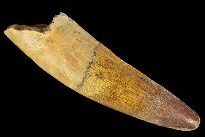 "Bargain, 3.52"" Spinosaurus Tooth - Composite Tooth"