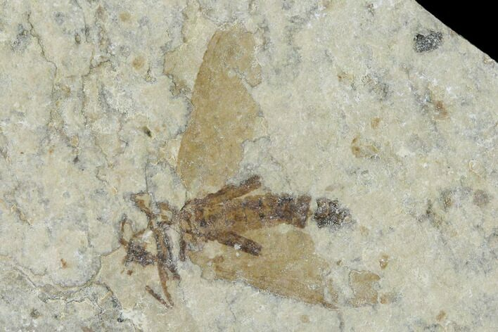 ".5"" Fossil March Fly (Plecia) - Green River Formation"