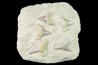 "Buy 5.8"" Fossil Mackeral Shark (Otodus) Teeth - Composite Plate - #138511"
