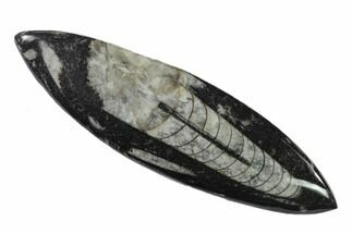 Orthoceras sp. - Fossils For Sale - #138408