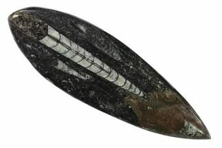 "4.7"" Polished Fossil Orthoceras (Cephalopod) - Morocco For Sale, #138392"