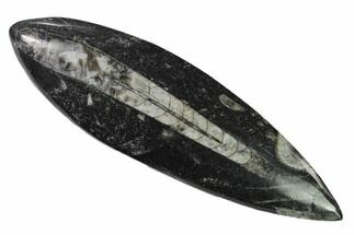 Orthoceras sp. - Fossils For Sale - #138402