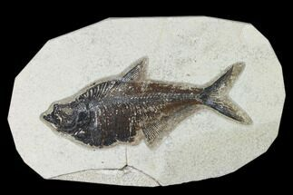 "Buy Bargain, 6.8"" Fossil Fish (Diplomystus) - Green River Formation - #138592"