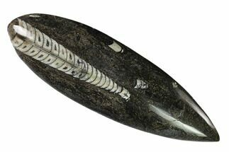"5.9"" Polished Fossil Orthoceras (Cephalopod) - Morocco For Sale, #138266"