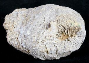 Thecosmilia trichotoma - Fossils For Sale - #9663