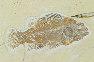 "Buy Bargain, 3.7"" Fossil Fish (Cockerellites) - Wyoming - #138685"