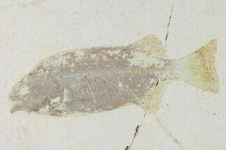 "Bargain 4.9"" Phareodus Fish Fossil - Uncommon Species For Sale, #138704"
