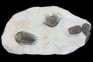 Four Trilobite Species In Association - Jorf, Morocco For Sale, #138935