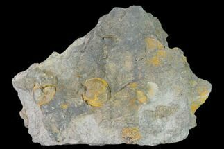 "Buy 5.6"" Pennsylvanian Fossil Brachiopod Plate - Kentucky - #138901"