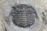 "7.6"" Plate of Four Ceraurus Trilobites - Walcott-Rust Quarry, NY - #138810-4"