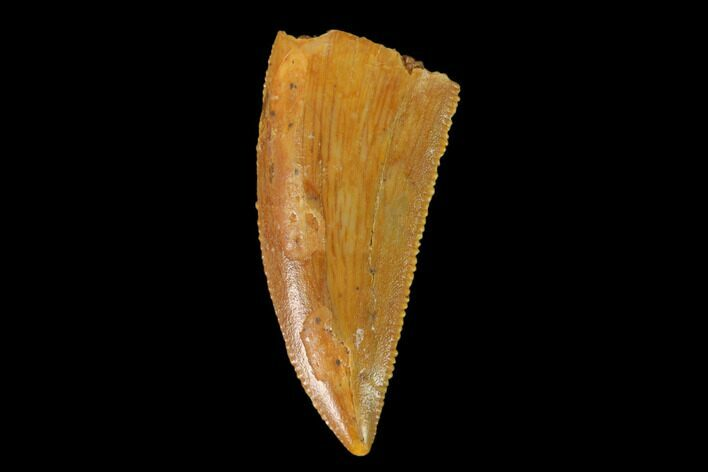 "Serrated, .8"" Raptor Tooth - Real Dinosaur Tooth"