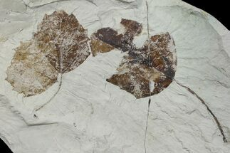 Buy Two Miocene Fossil Leaves (Populus) - Augsburg, Germany - #139510