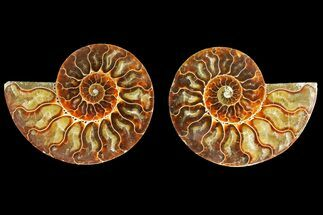 "Buy 4.7"" Agatized Ammonite Fossil (Pair) - Madagascar - #139720"