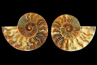 Cleoniceras - Fossils For Sale - #139737