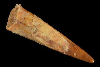 "Buy .87"" Fossil Pterosaur (Siroccopteryx) Tooth - Morocco - #140692"