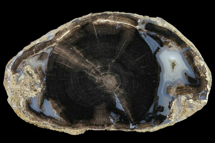 "4.3"" Petrified Wood (Schinoxylon) Slab - Blue Forest, Wyoming"