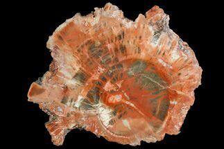 "Buy 3.4"" Polished Petrified Wood (Araucaria) Round - Arizona - #141394"