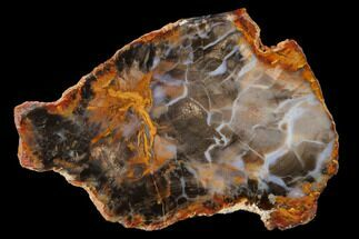 "5.5"" Petrified Wood (Sycamore) Slab - Parker, Colorado For Sale, #141413"