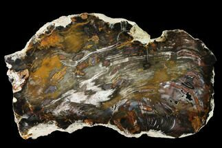 "Buy 9.3"" Colorful, Hubbard Basin Petrified Wood Slab - Nevada - #141259"