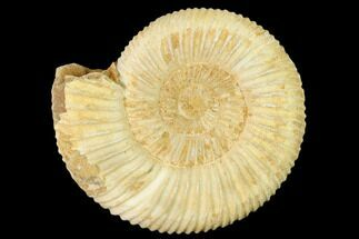 Perisphinctes sp. - Fossils For Sale - #140400