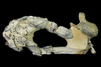 "Buy 3.4"" Fossil Mud Lobster (Thalassina) - Australia - #141031"