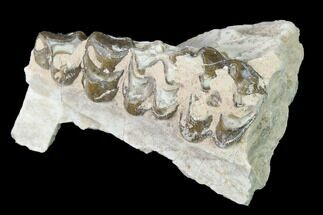 "Buy 2.1"" Oreodont (Merycoidodon) Jaw Section - South Dakota - #140926"