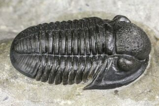 ".8"" Detailed Gerastos Trilobite Fossil - Morocco For Sale, #141668"