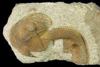 "1.35"" Inflated Declivolithus Trilobite - Mecissi, Morocco For Sale, #141887"
