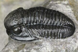 ".8"" Detailed Gerastos Trilobite Fossil - Morocco For Sale, #141683"