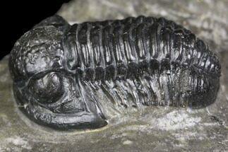 "Buy .65"" Detailed Gerastos Trilobite Fossil - Morocco - #141685"