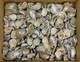 Lot: Polished Fossil Oyster Shells - Around 150 Pieces For Sale, #141092